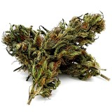 CBD NAG-S Cannabis Sous-serre